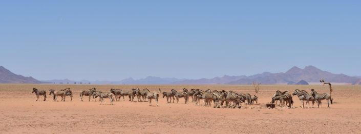 Zebras am NamibRand Family Hideout Wasserloch