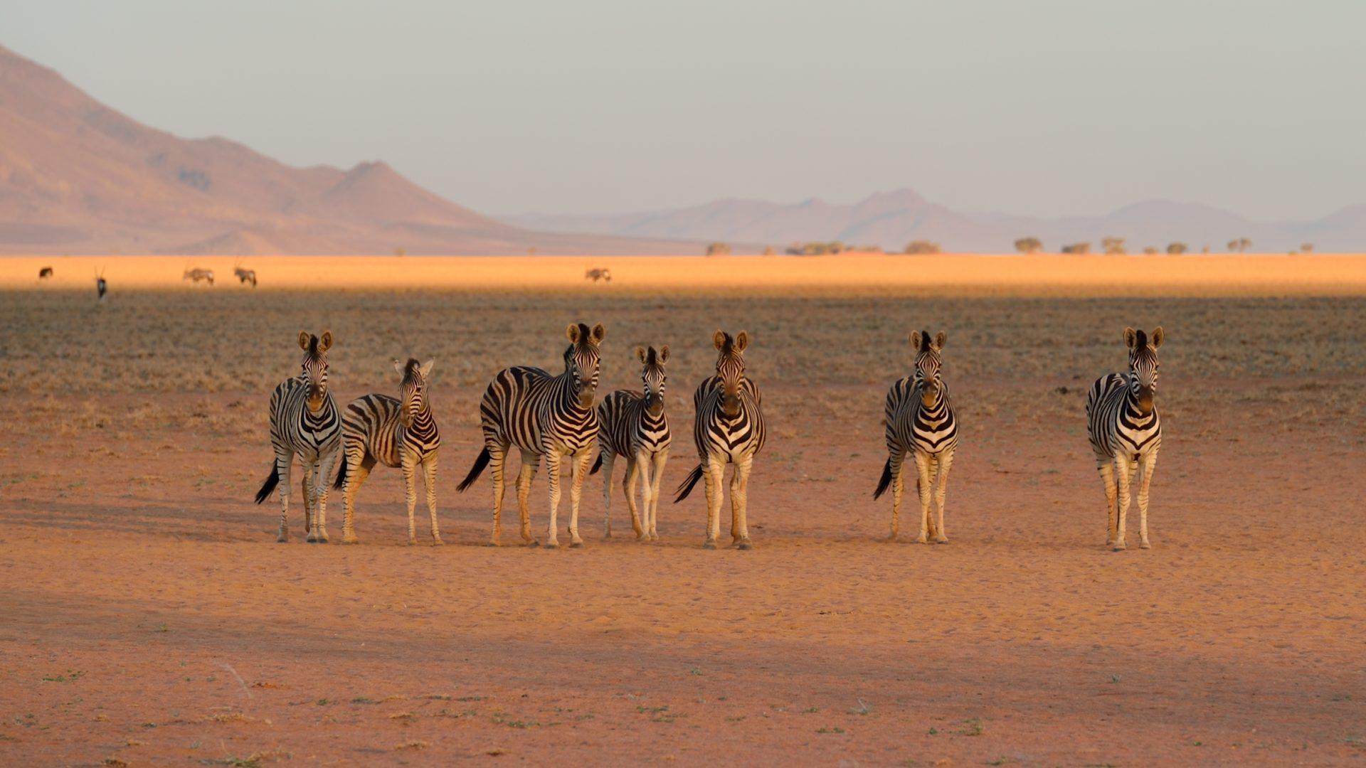 Zebras bei NamibRand