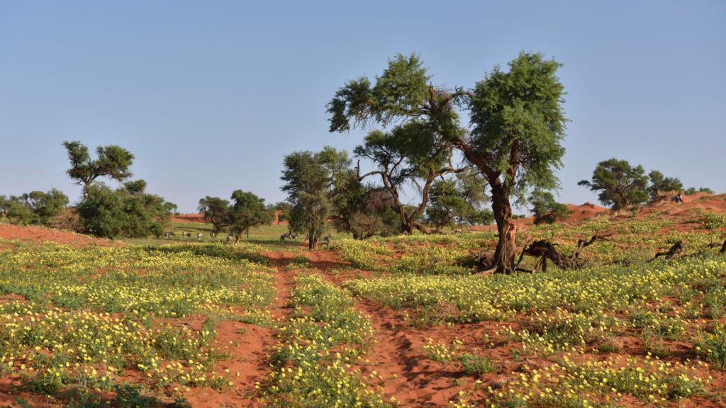 NamibRand nach dem Regen: gelbe Blumen und grünes Gras