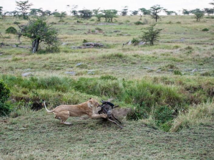 Lion Kill Masai Mara